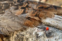 North_Maine_Cast_Blast_Grouse_Hunting2