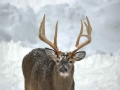 Winter Deer Yard Buck
