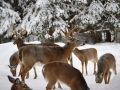 Winter Deer Yard