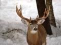 Winter Deer Yard Buck 2