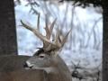 Winter Deer Yard Buck 3