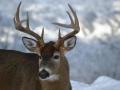 Winter Deer Yard Buck 5