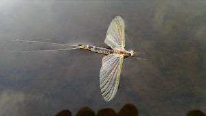 Mighty Green Drake Mayfly