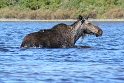 Maine Trophy Moose Hunting