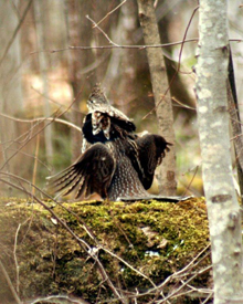 Woodcock Hunting in Northern Maine