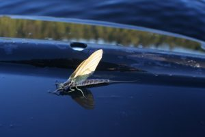 North Maine Woods Fly Fishing - Mayfly on paddle